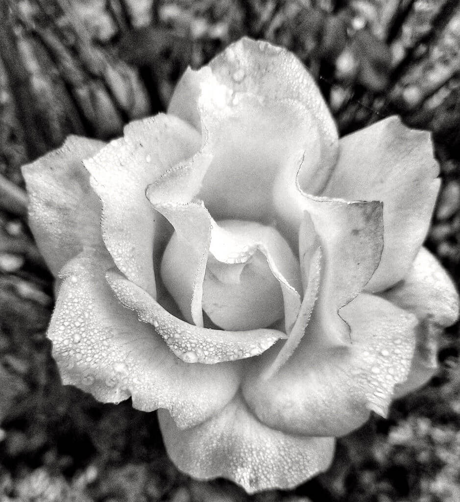 Carol Jacobs-Carre - Foggy morning rose black and white