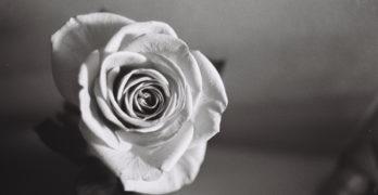 Jarrod Mouton - A Rose