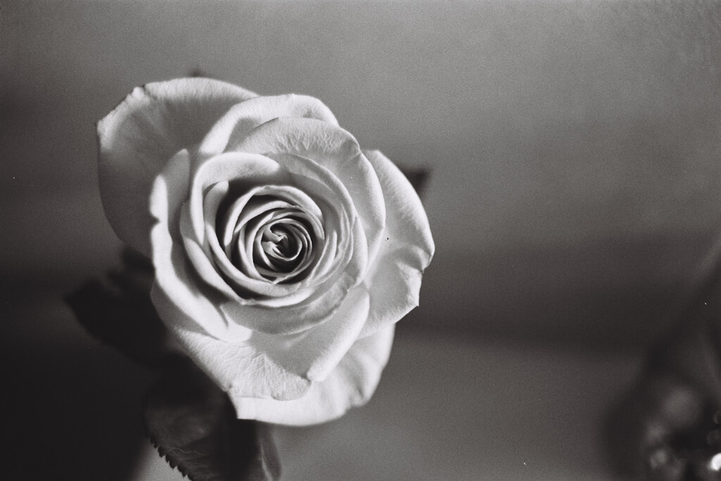 Jarrod Mouton - A Rose black and white
