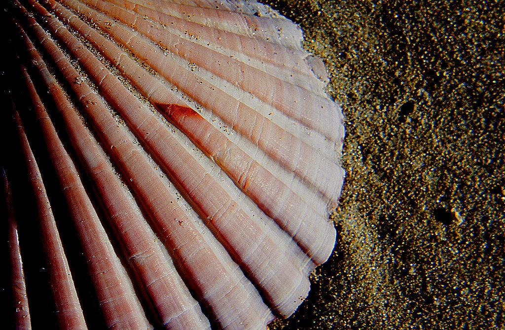 Bernard Spragg. NZ - Scallop shell.