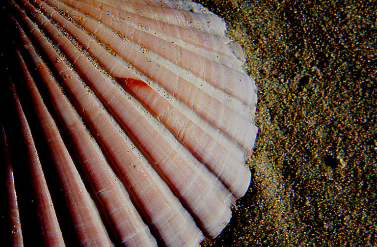 Bernard Spragg. NZ - Scallop shell.