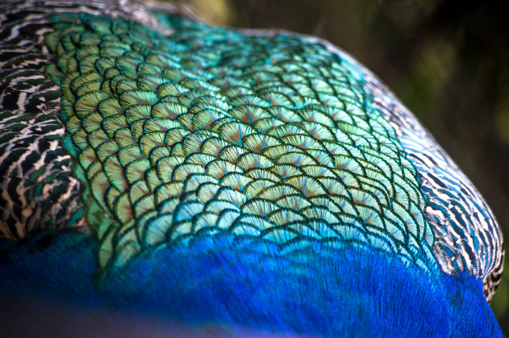 Marco Verch - Peacock body feathers