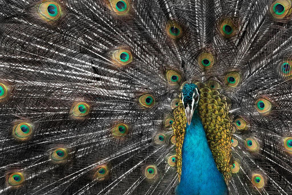 Carlos Andrés Reyes - peacock