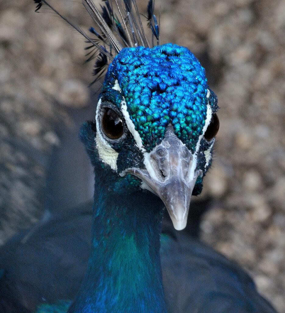 Mary Shattock - Peacock