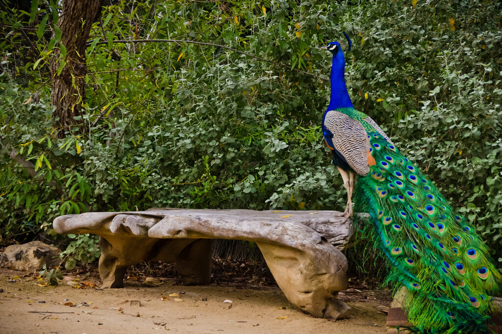 CindiKPhotography - peacock on bench
