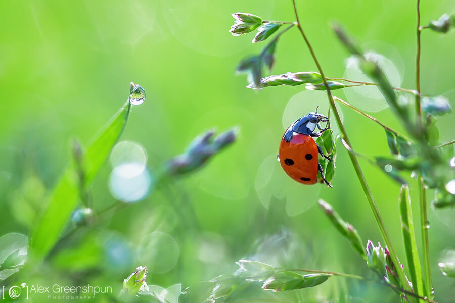 Alex Greenshpun - Ladybird