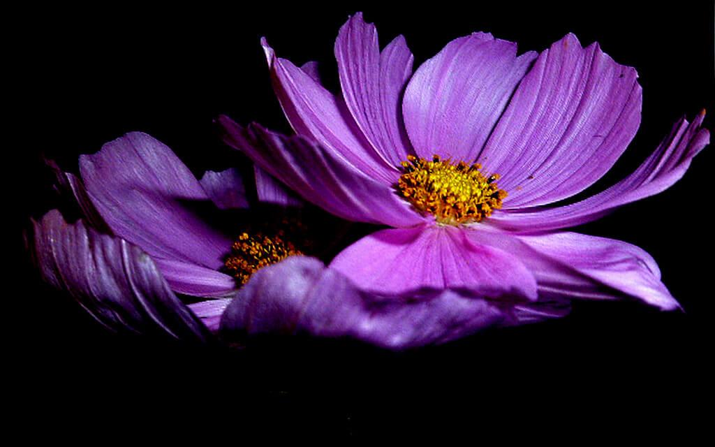 marie romantica - purple flowers