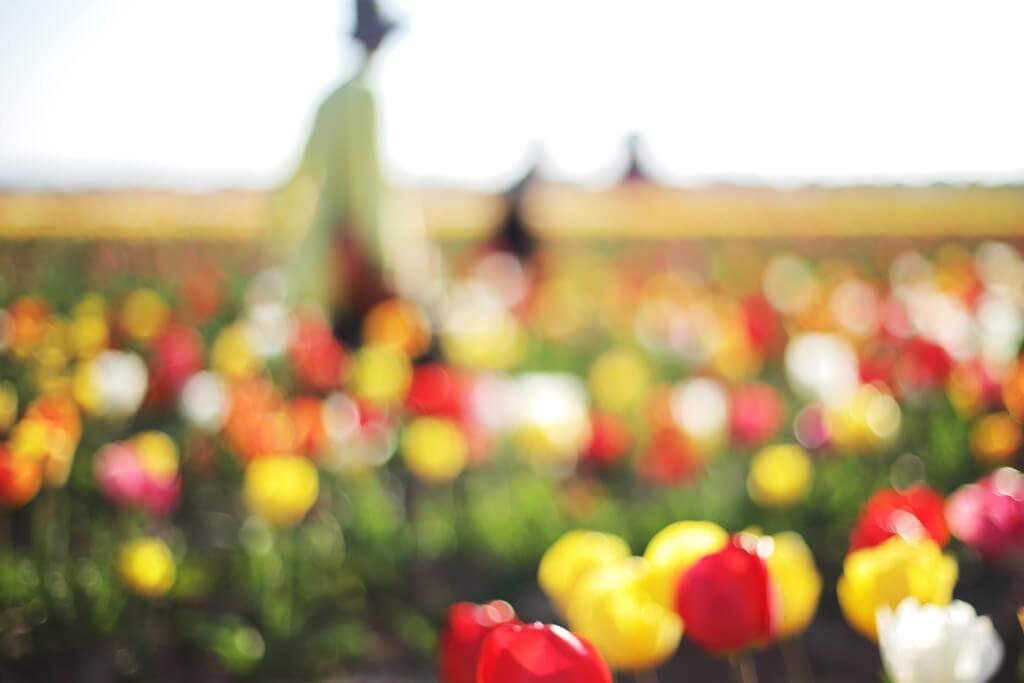 けんたま/KENTAMA - tulip field