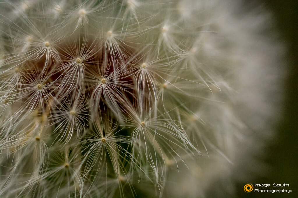 Image South Photography - Dandelion