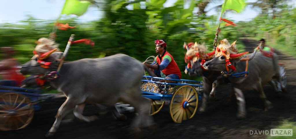 David Lazar - Bali Buffalo race