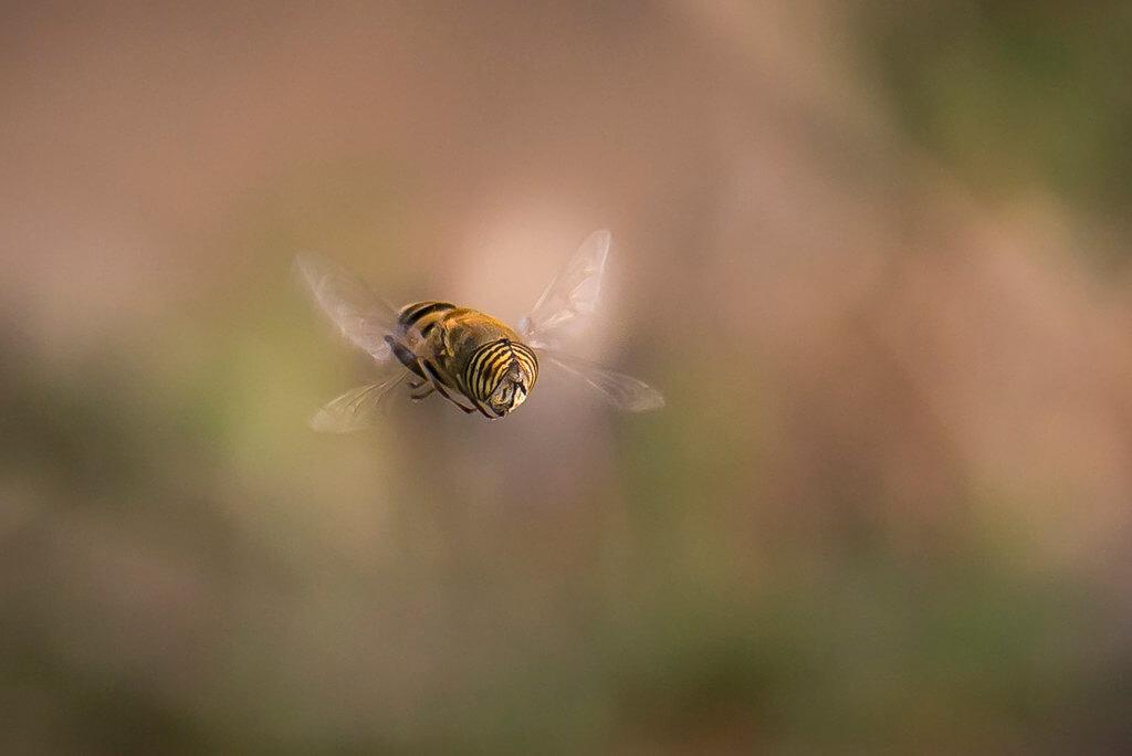 Amine Fassi - hoverfly macro