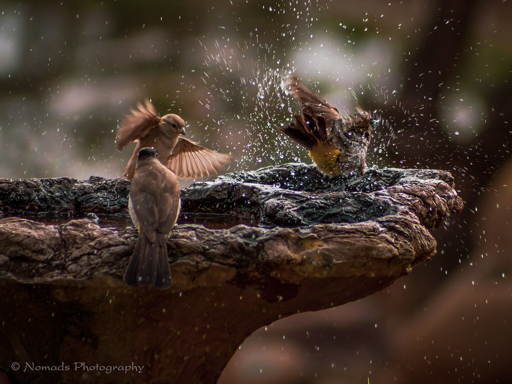 Nomads Nature Photography - bird fountain