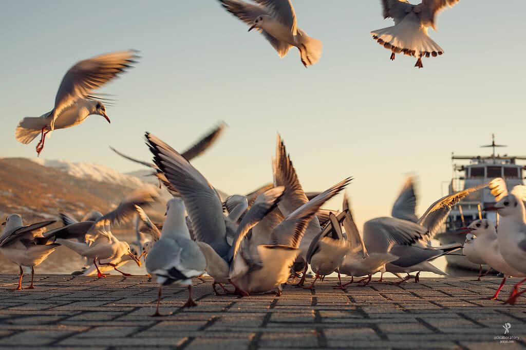 Yane Naumoski - Seagulls Feeding frenzy