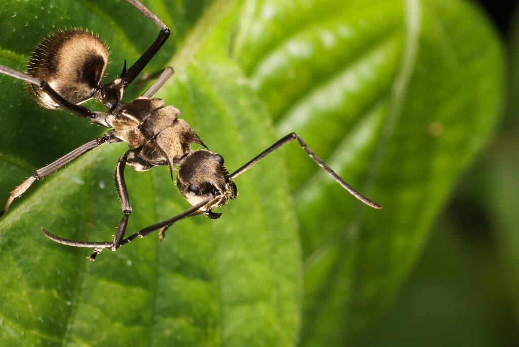 Arthur Lee - Ant