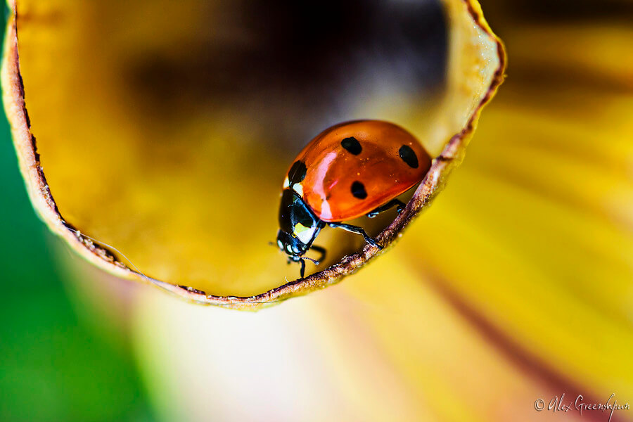 Alex Greenshpun - ladybug close up