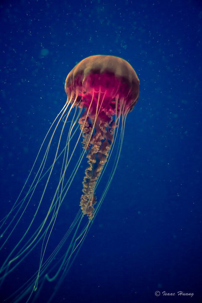 Isaac H.. - Jellyfish