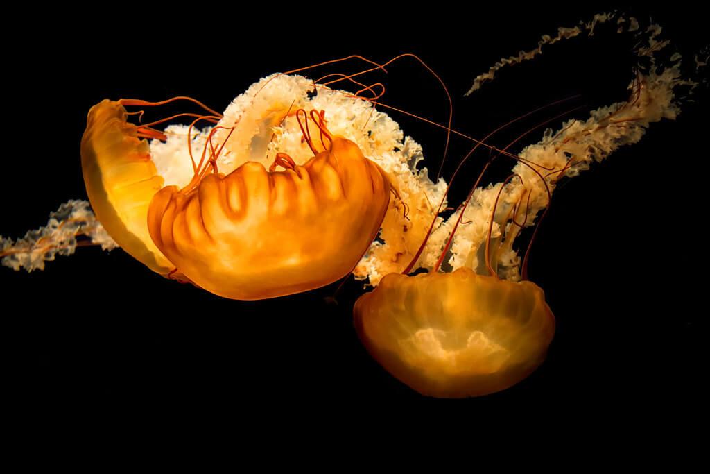 Ray in Manila - Chrysaora Fuscescens (Pacific Sea Nettle)
