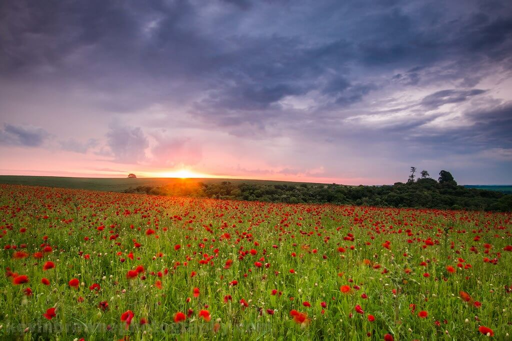 Kev Browne - Sunrise over a poppy field near Wherwell, Hampshire