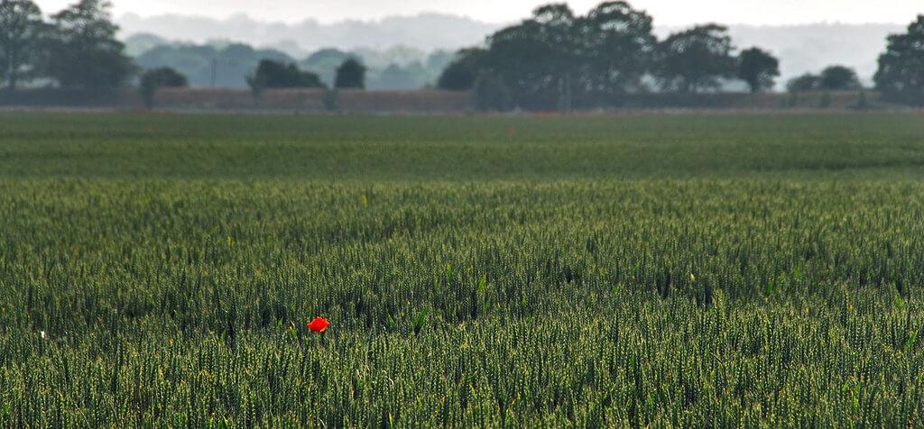Richard Watkins LRPS - Lone Poppy Landscape