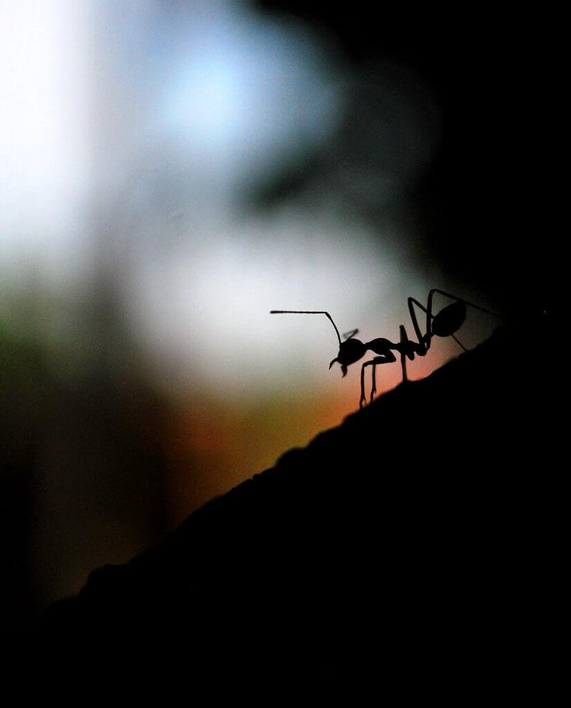 ferdinand mendoza - ant silhouette