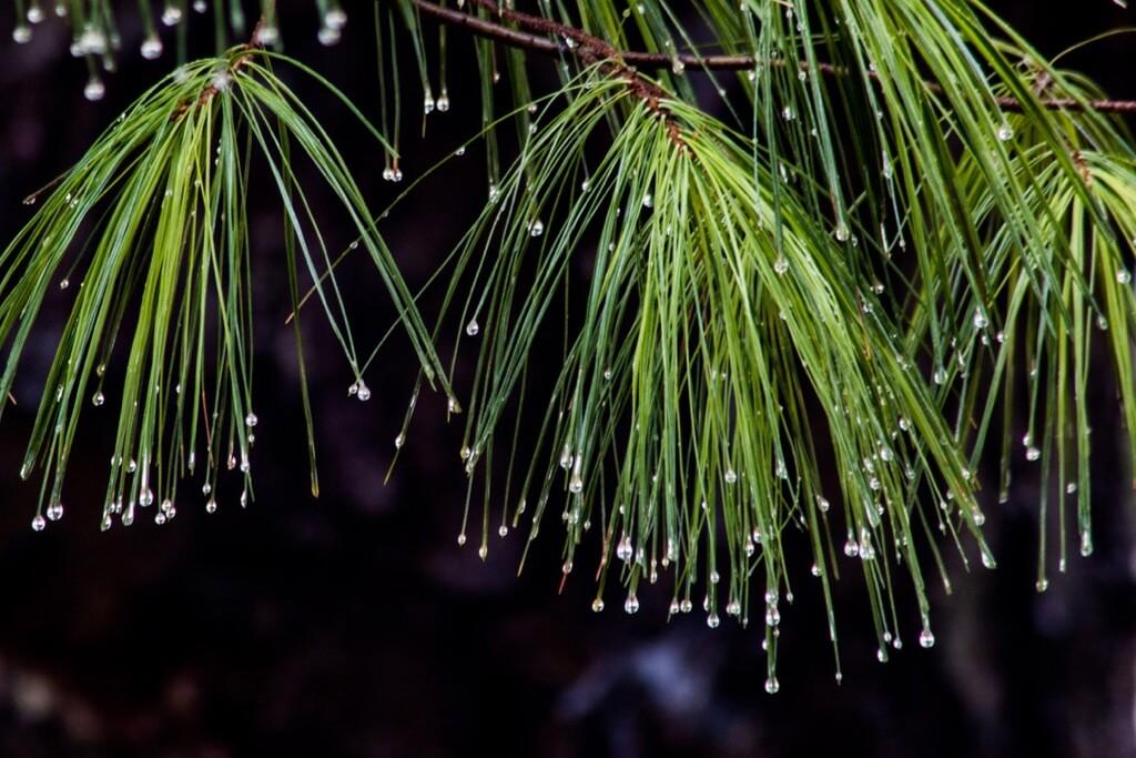 Ben Russell - Pine Tree