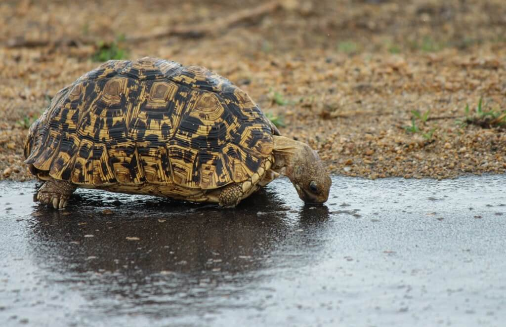 Mimmie Du Toit - tortoise drinking from puddle
