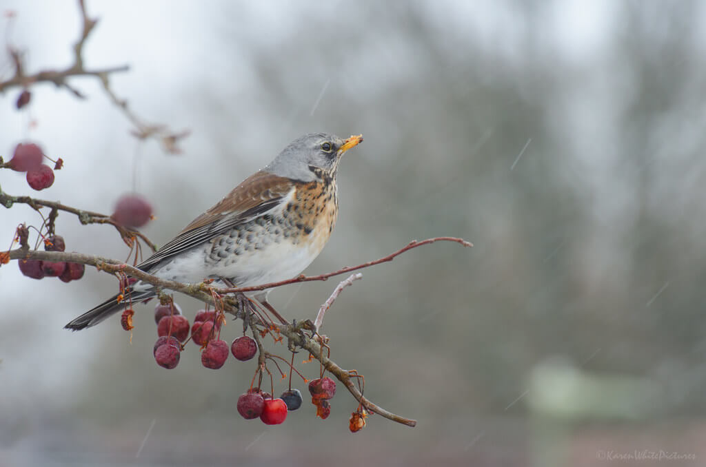 Karen White - fieldfare in the rain