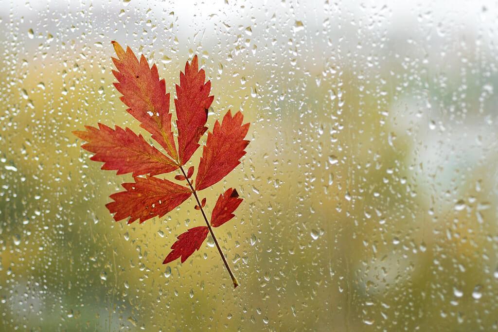 Olga Filonenko - red leaf on window