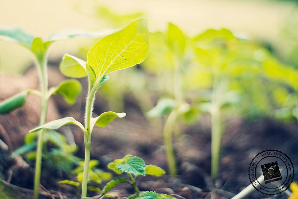 Marie Sturges - Sunflower Seedlings