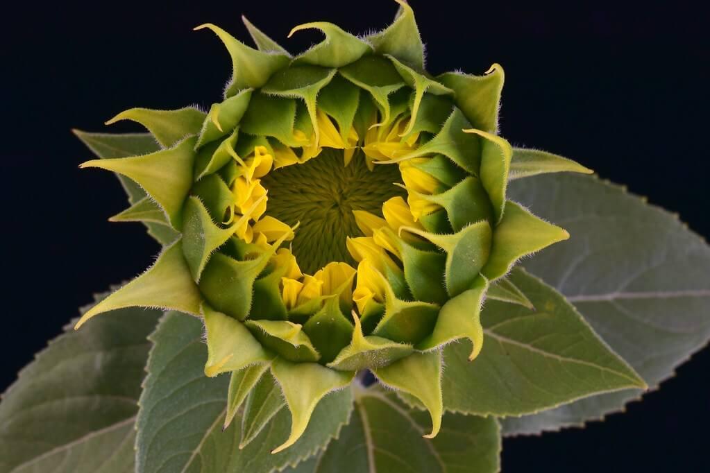 Larry Lamsa - Sunflower