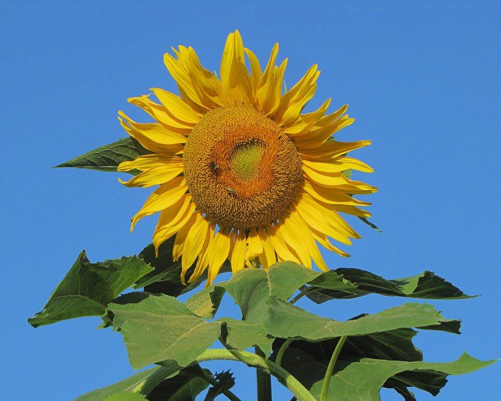 John Rosemeyer - Sunflower