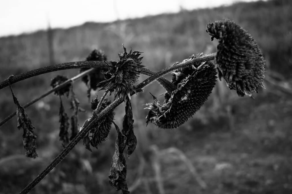 Marina Burić - Dead Sunflower