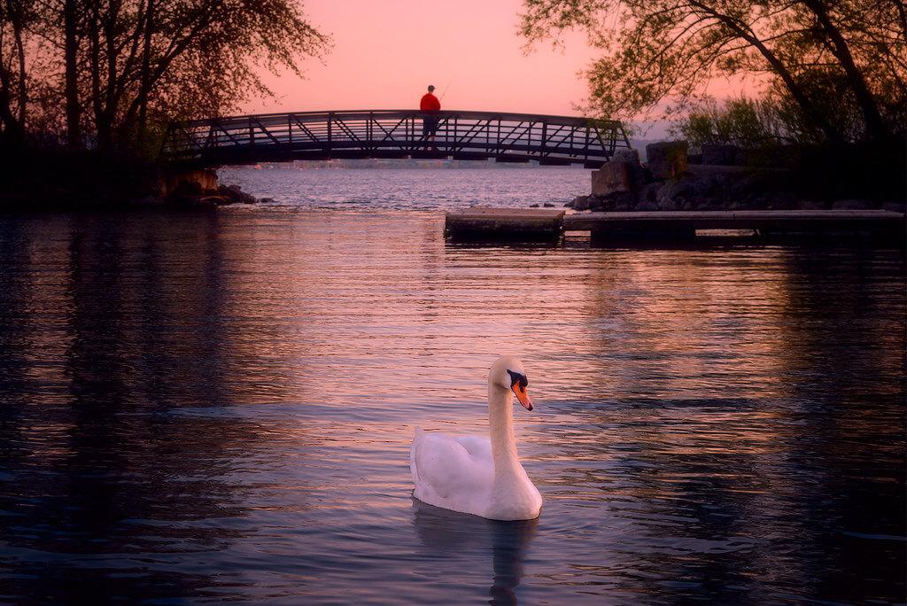 Jim Smith - swan