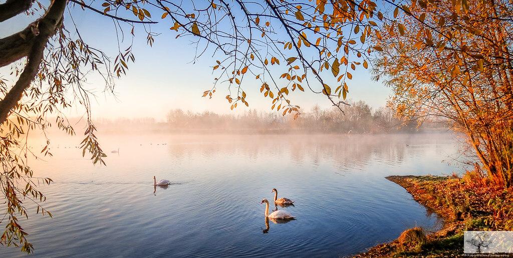Robert Felton - Dovecote Swans