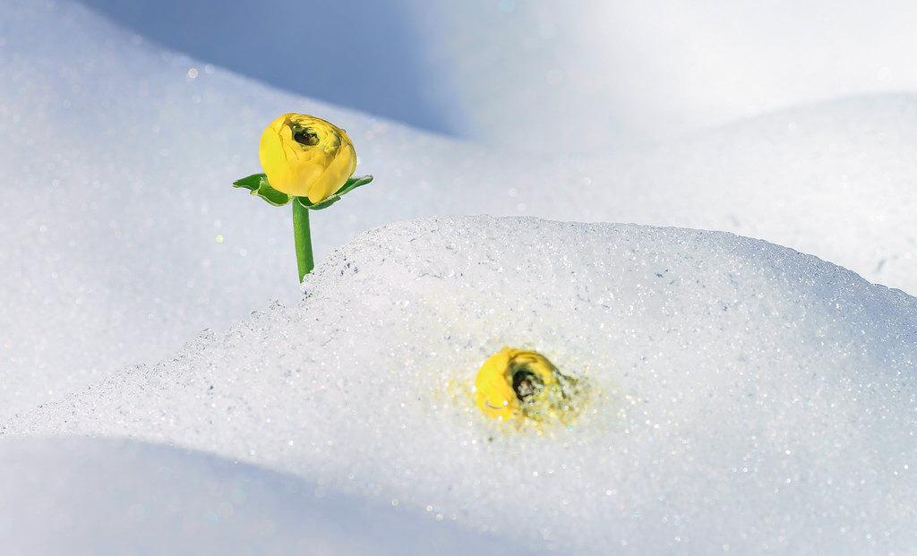 Wicaksono Trian Islami - Flower and Snow