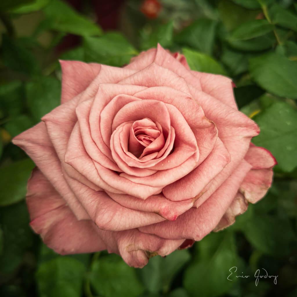 Enio Godoy - Rose