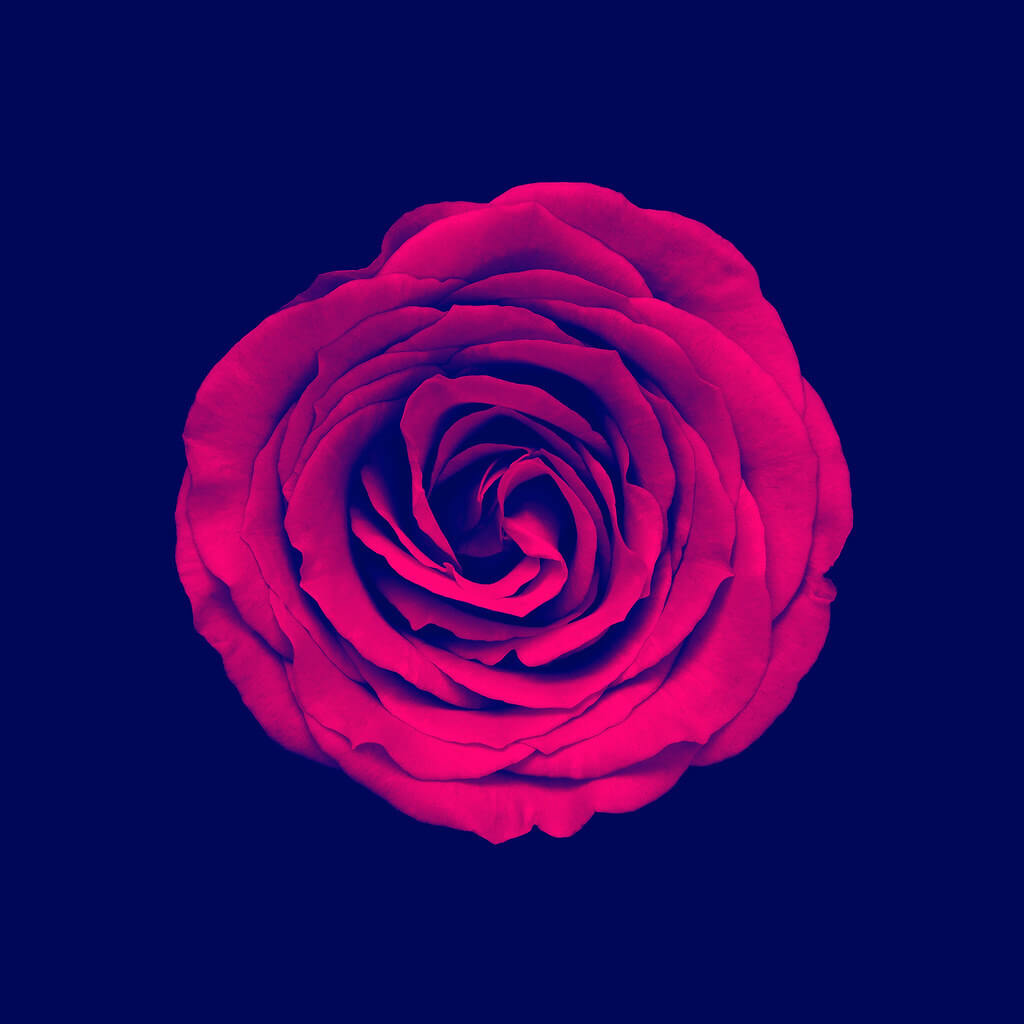 Andrew Birch Photography - Red Rose On Blue