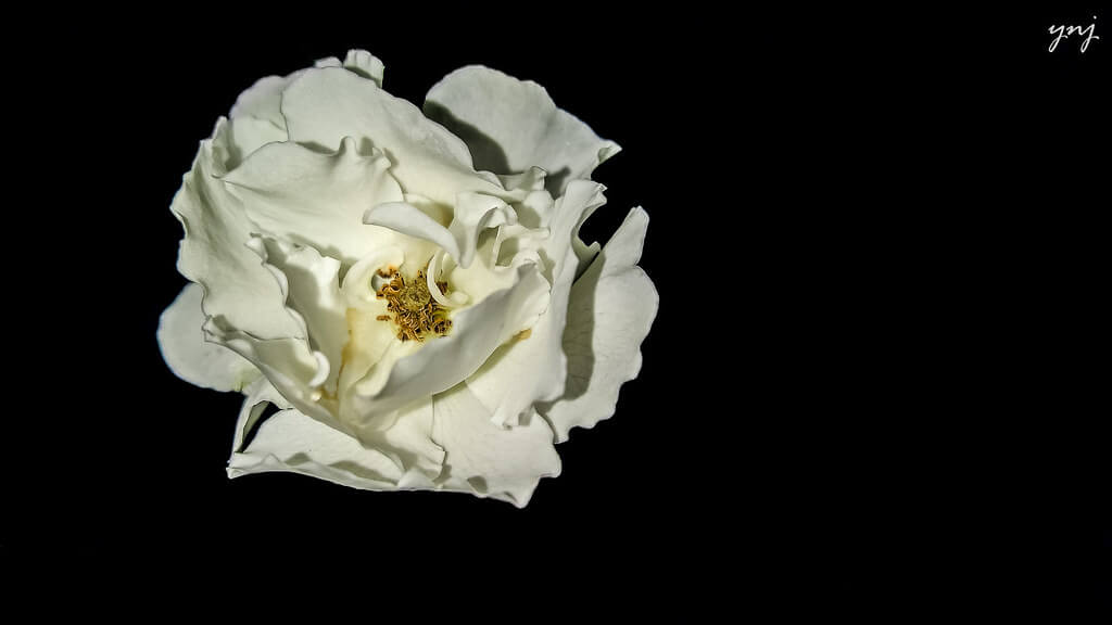 Yogendra Joshi - White Rose