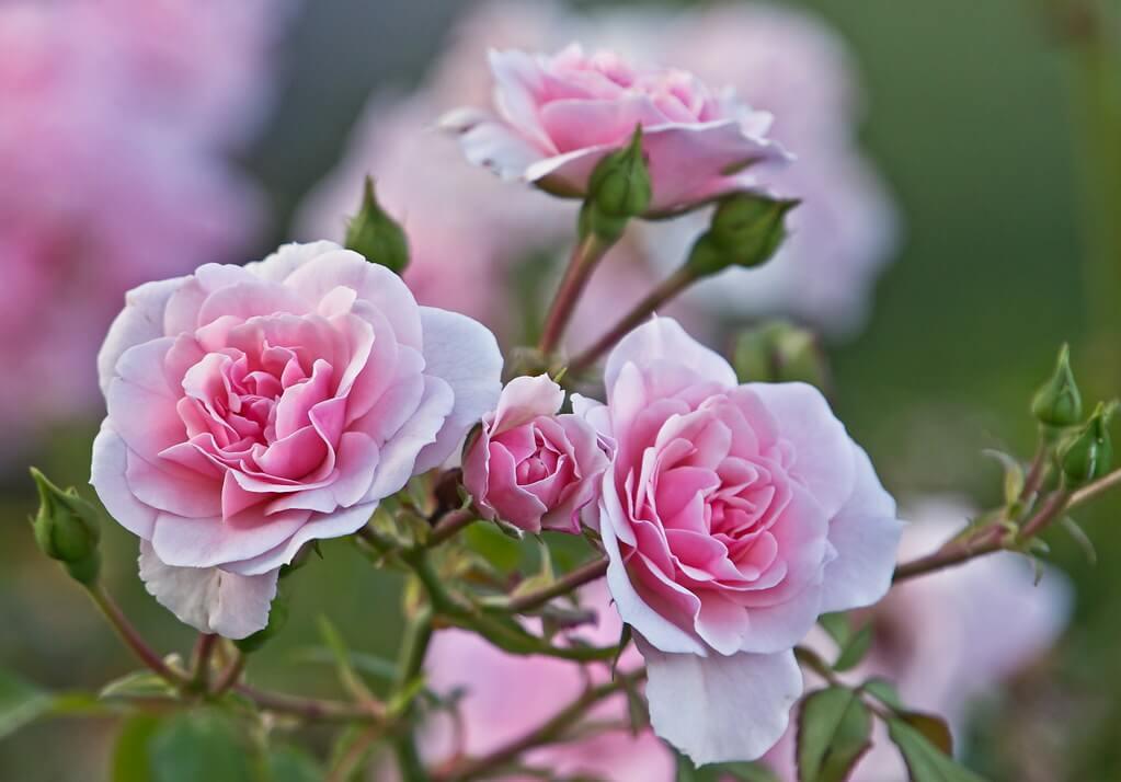 Lidija Bondarenko - Pink Roses