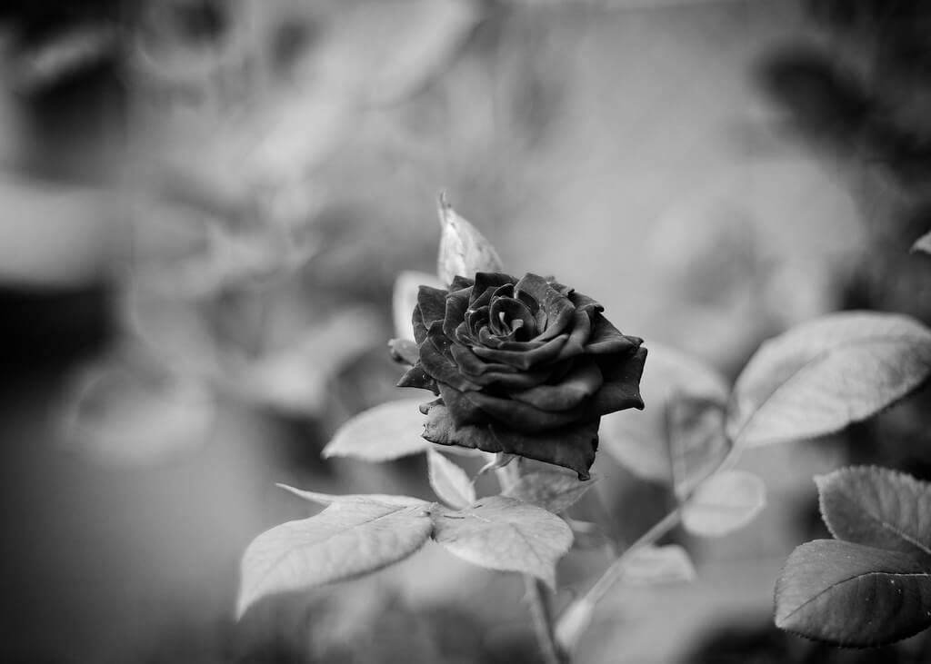 Jack Nobre - black and white rose