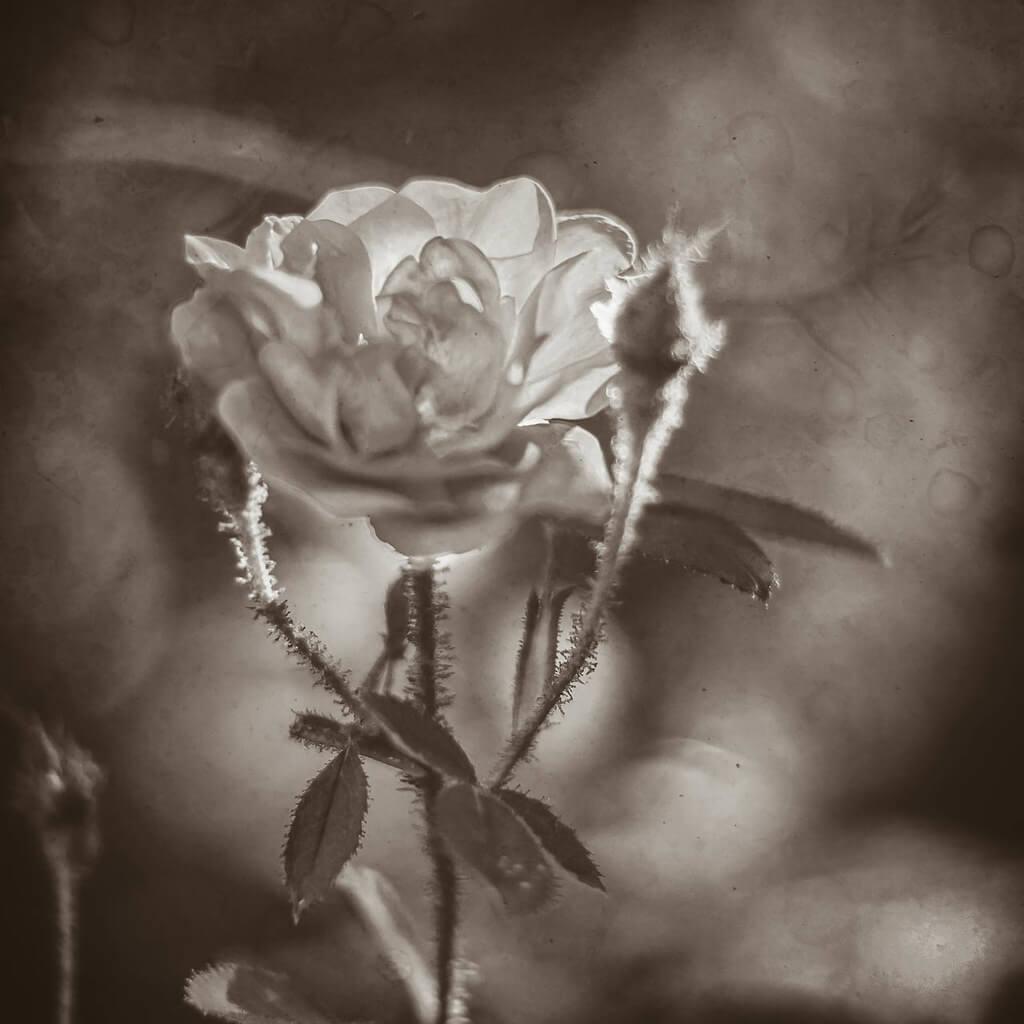 R Casey - white roses