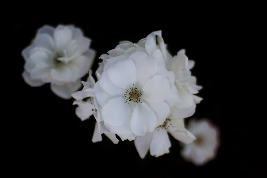 ilirjan rrumbullaku - White Roses