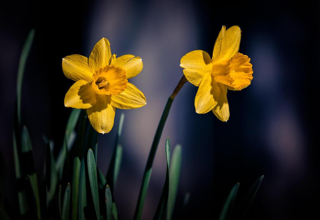 Jim Smith - daffodils
