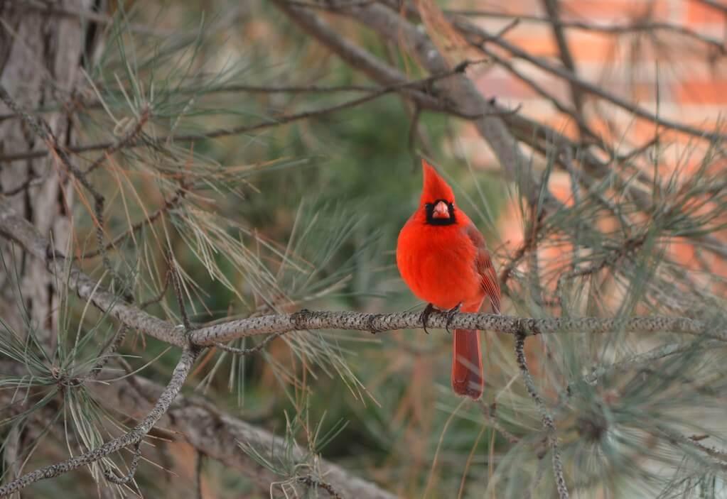 Al Gieryna - Cardinal