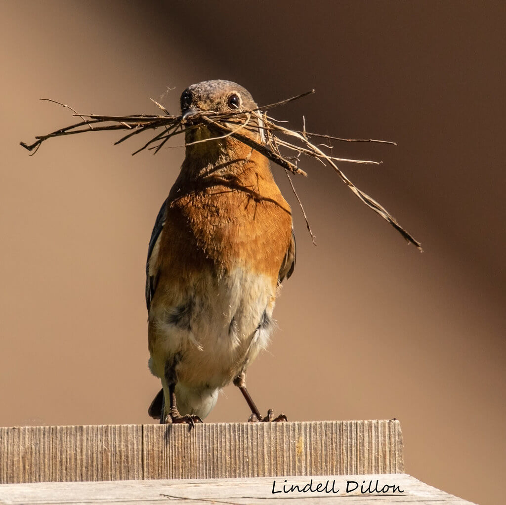 Lindell Dillon - bird building nest