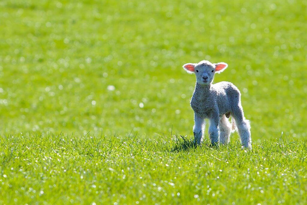 Tim Pokorny - Spring Lamb