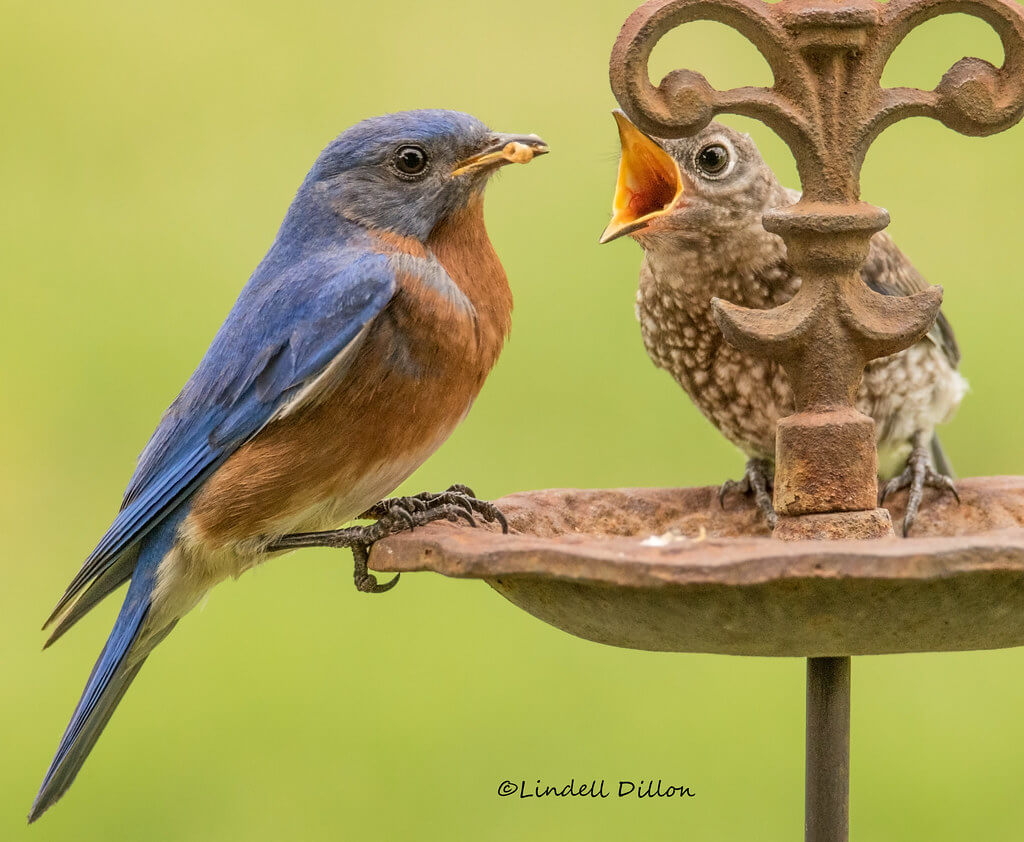Lindell Dillon - bird feeding baby