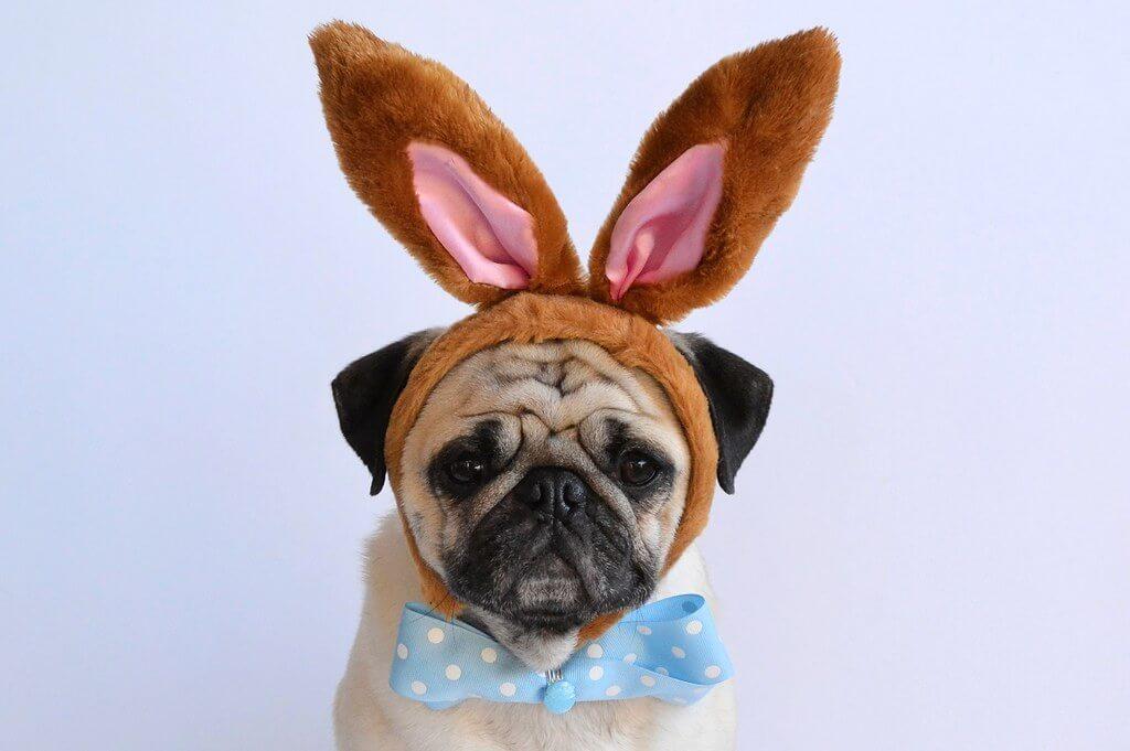 DaPuglet (Tina) - Dog with Bunny Ears