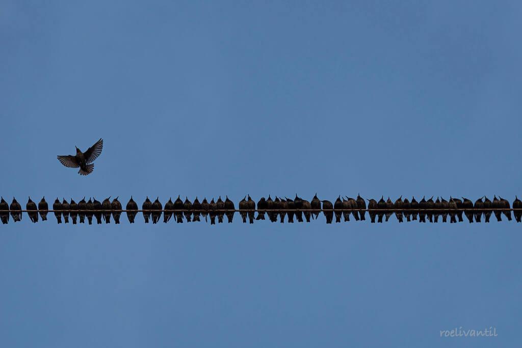 Roeli Til -   spreeuwen / starlings in Friesland