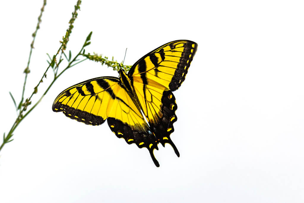 Cade Smith - Eastern Tiger Swallowtail